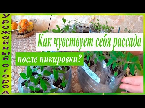 pikirovka-rassadi-tomatov-video
