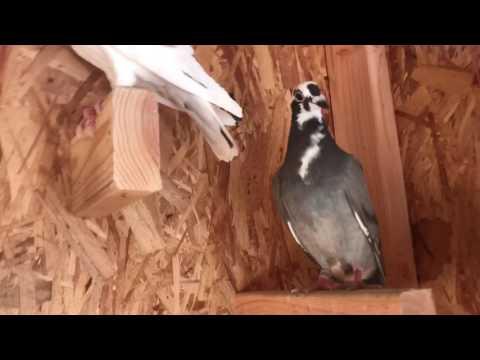 Homemade pigeon trap door