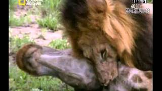 برنامج أنا وحش - الاسد I,Predator-Lion