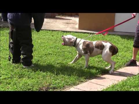 American Bulldog has lost his mind RED ZONE DOG bites Miami Dog Whisperer