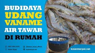 Budidaya Udang Vaname Air Tawar di Rumah | 0857-3001-8282