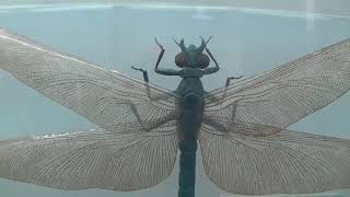 Gigantic Dragonfly Meganeura Lived with Dinosaurs, Now in Kiev, Ukraine
