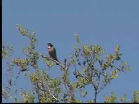 Rey del Bosque Cantando 2