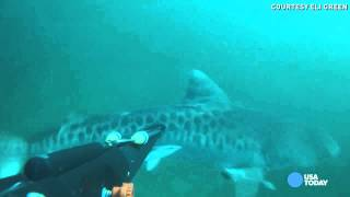 Watch tiger shark confront spearfisherman for his catch