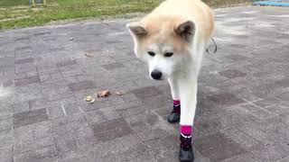 秋田犬パティ  最近は靴を履いてお散歩❣️