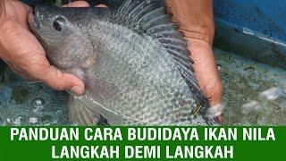 Panduan Cara Budidaya Ikan Nila Langkah demi Langkah
