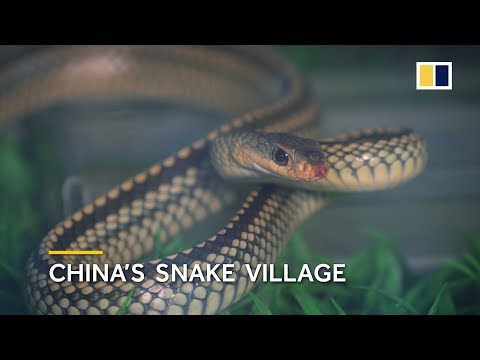 China s snake village home to over 3 million snakes