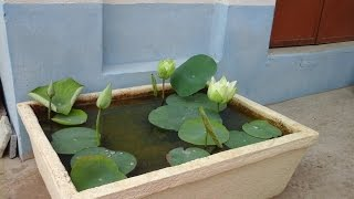 how to plant lotus at home with roots collection