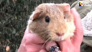 Guinea Pigs Get Rescued From Street — And There