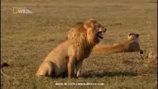 Singa ketawa ngakak bikin perut sakit