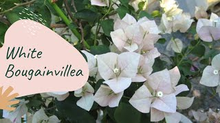 MOST BEAUTIFUL WHITE BOUGAINVILLEAS EVER || NATURE VLOGS