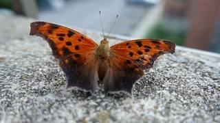 Orange Butterfly (Eastern Comma)|| LX100