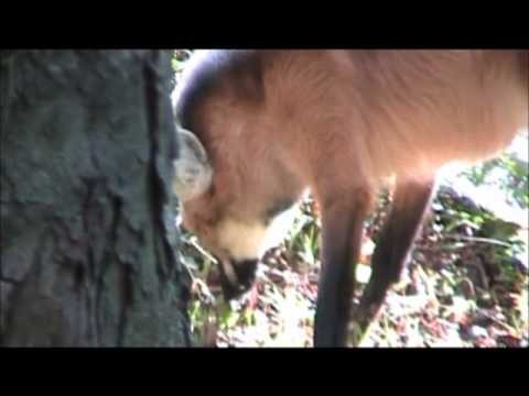 Maned wolves; there is nothing in the entire world like them -- literally!