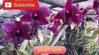 Bunga Anggrek Dendrobium Batang Merah Dan Bungapun Merah