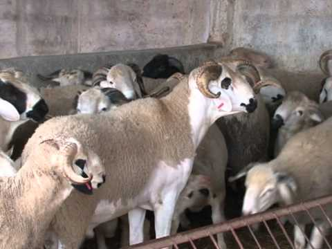 Maroc: acheter son mouton de l'Aïd sur internet, c'est possible