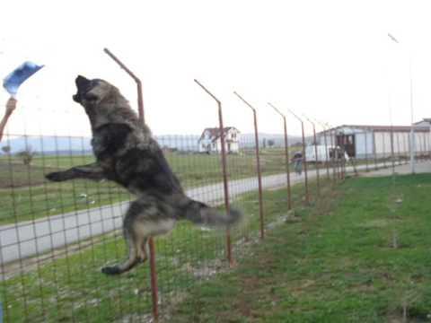 Qeni Sharrit Illyrian Sheepdog Deltari Ilir