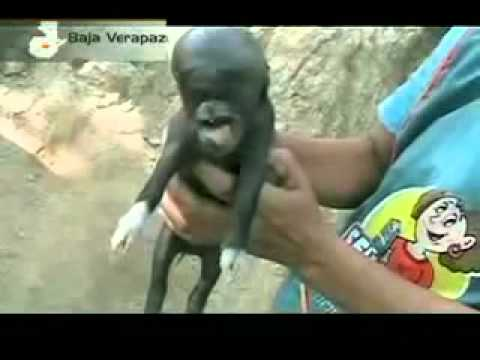Porco nasce com feições humanas na Guatemala e horroriza família 2011