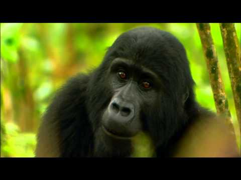 Gorilla Mating Games Love in The Animal Kingdom Nature on PBS