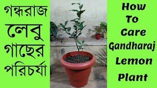 গন্ধরাজ লেবু গাছের পরিচর্যা | How To Care Gandhoraj Lemon Plant
