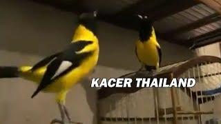 Burung Kacer Thailand Yang Thailook Banget