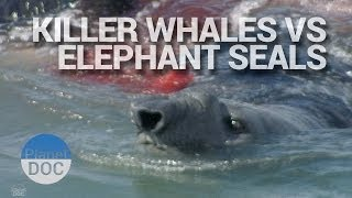 Killer Whales Vs Elephant Seals   Wild Animals - Planet Doc Full Documentaries