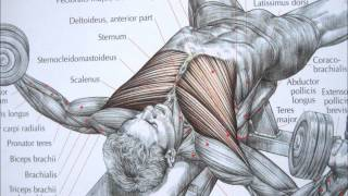 Bodybuilding chest exercise and anatomy