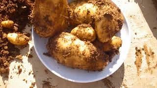 زراعة وحصاد البطاطس في المنزل Grow organic potatoes at home