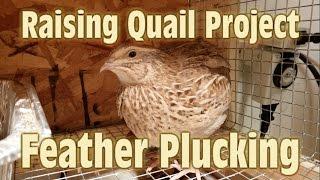 Feather Plucking - Raising Coturnix Quail Project