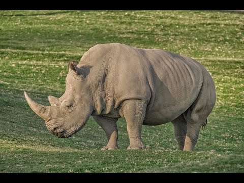 San Diego Zoo Kids - Rhino Crash Course