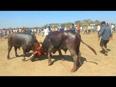 Buffelo fight,Gondia Chandu