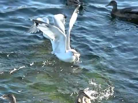 Angry birds Seagull vs Duck slow motion 300 fps