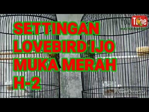 Settingan lovebird IJO MUKA MERAH H-2