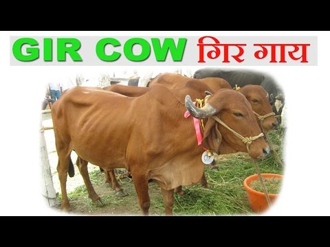Gir Cow : Benefits of Gir Cow over other Cows - गिर गाय की विशेषताएं