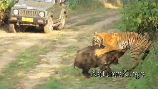 Tiger Attacks Wild Boar - Intense [HD]