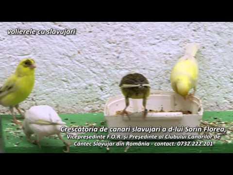Crescatoria de pasari indigene volierele cu slavujari