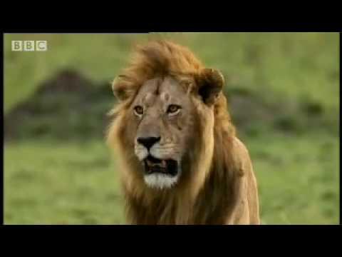 Cheetah vs lion Big Cat Diary BBC