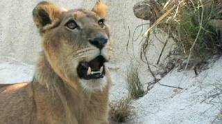 Lion vs Black Mamba 01, deadly venomous snake encounter with lion