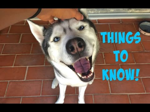 Frequently Asked Siberian Husky Questions! - Q&A