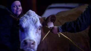 Raw: Philadelphia Police Round Up Loose Cow