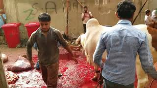 The great cow qurbani by expert qasai of latest 2017~2018