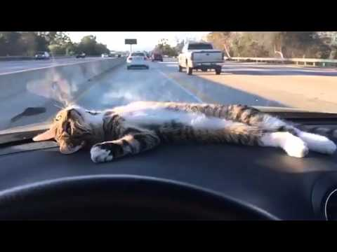 Cat Rests on Car Dashboard