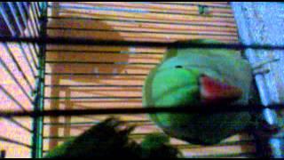 Mitthu Video