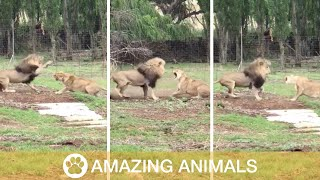 Lioness Has Almighty Battle With Lion