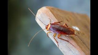 هل تكره الصراصير ؟ إليكم طريقة التخلص من الصراصير باستخدام مكون واحد فقط !