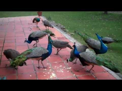 Los pavos reales vinieron de visita Peafowl visit