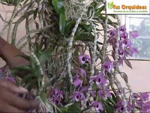 Orquideas Dendrobium anosmun. Flores y Cuidados