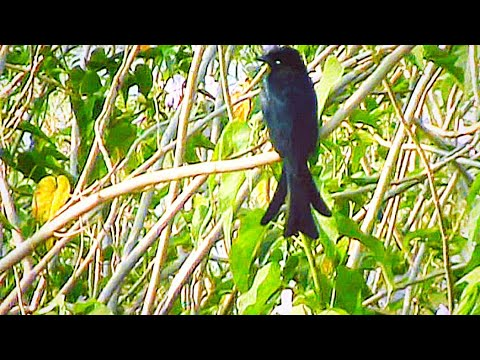 Double forked tails Black Drongo Only one video on Internet
