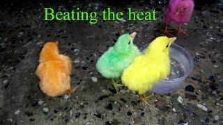 Cute little Chicks drinking water