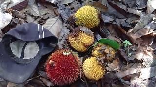 Yuk... Ikut Saya Cari Durian Merah...durian Hutan Khas Kalimantan