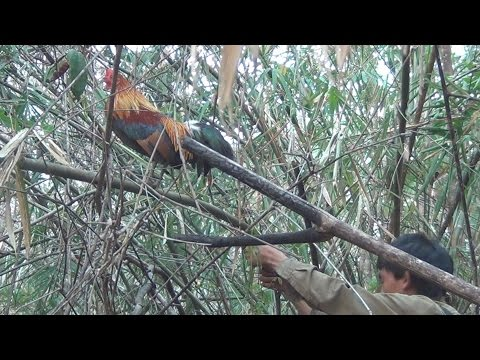 Hunting red jungle fowls 2015, Yos haav zoov tua qab qus 2015, ໄປຕໍ່ໄກ່ປ່າ